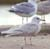 Click for big images of Larus glaucoides